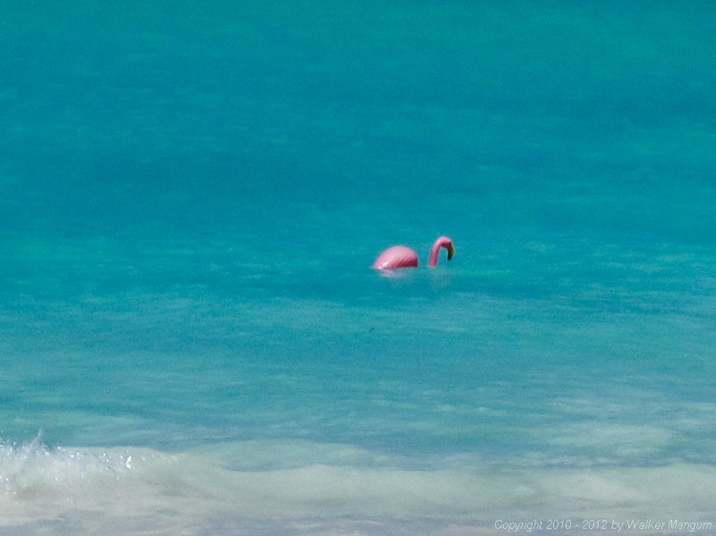 Bob (one of our pet flamingos) in the sea.