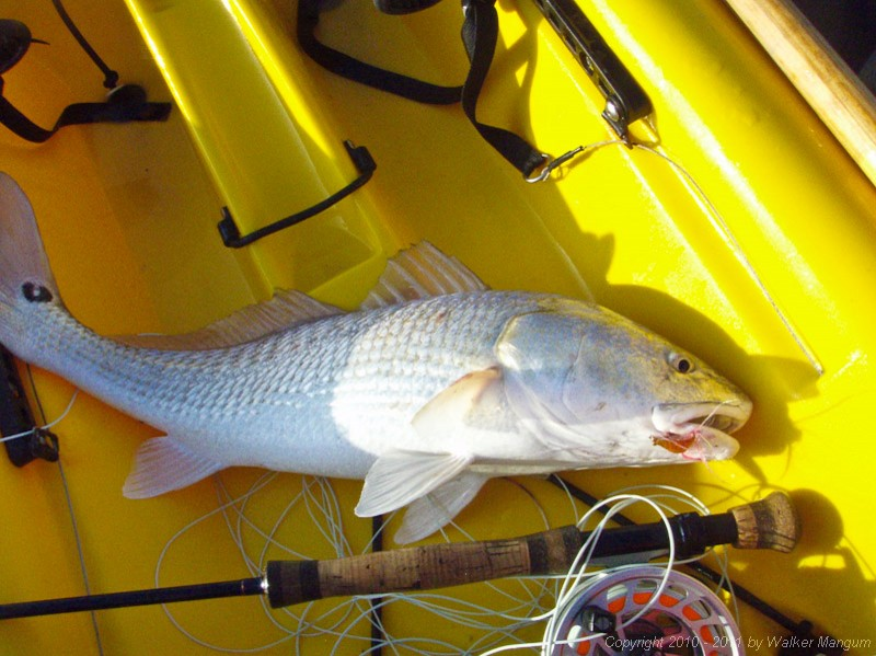 Lake Calcasieu redfish
